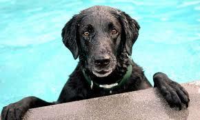 Perros nadando