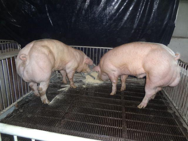 """Cerdos """"mutantes"""""""