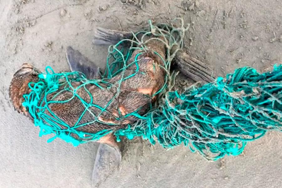 Lobo marino víctima de la contaminación