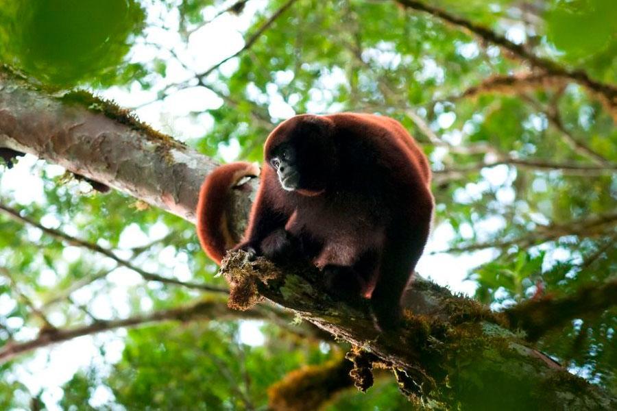 Mono choro de cola lanuda, Choba peligro de extinción