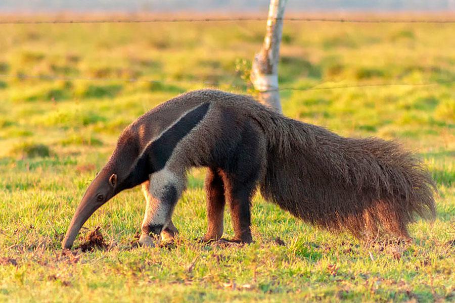 Oso hormiguero gigante peligro de extinción