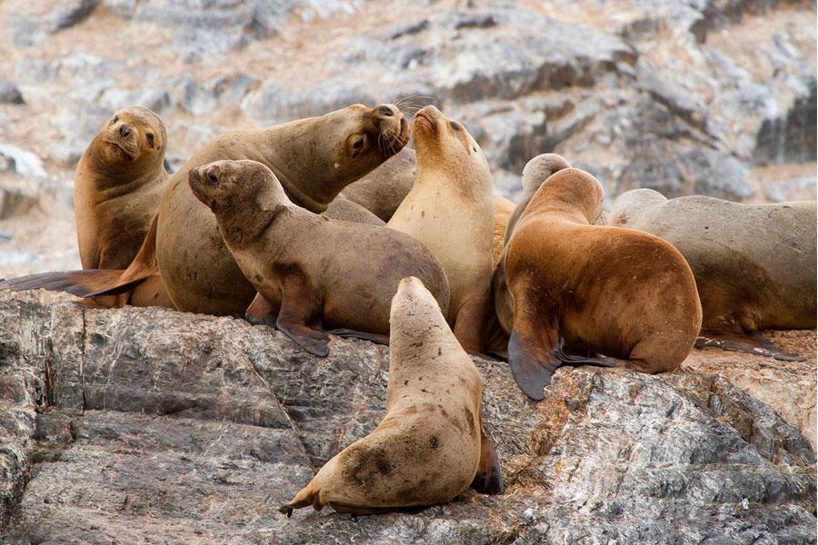 : Lobo marino chusco, león marino sudamericano, lobo marino de un pelo, león marino del sur