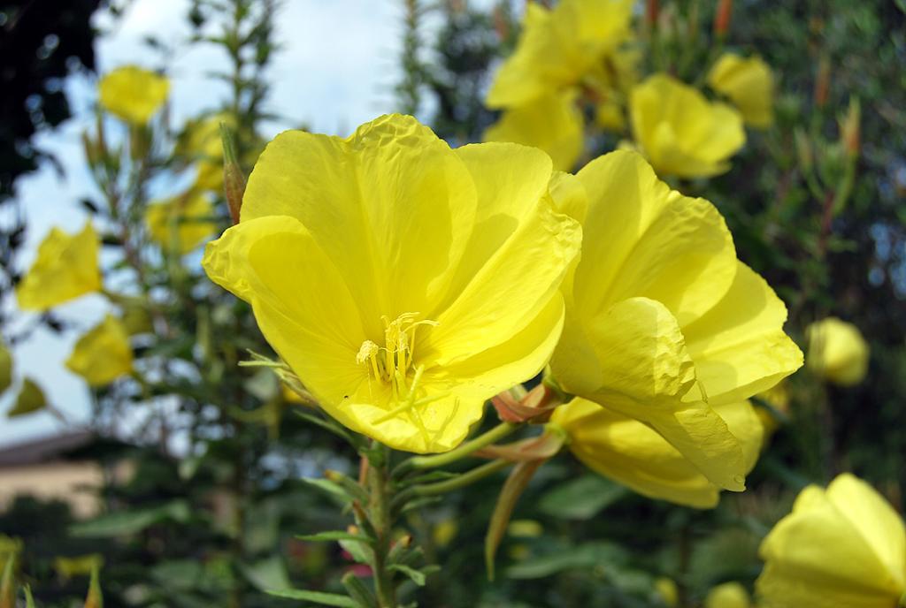 Flor onagra