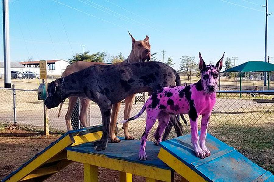 El perro fue teñido de rosa