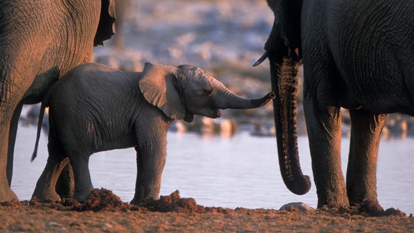 elefantes animales